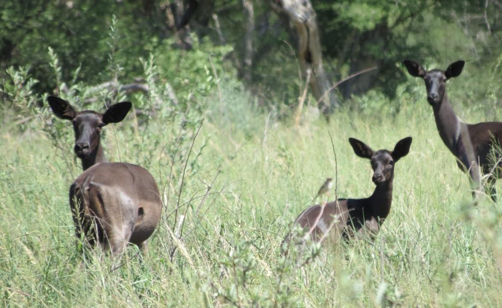 Black Impala ewes