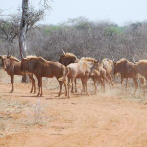 Golden Wildebeest Heifers, Sentrum, Thabazimbi., 15 Months old.