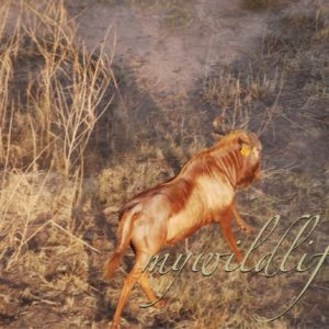 Golden King Wildebeest Heifers for sale in Limpopo, Thabazimbi