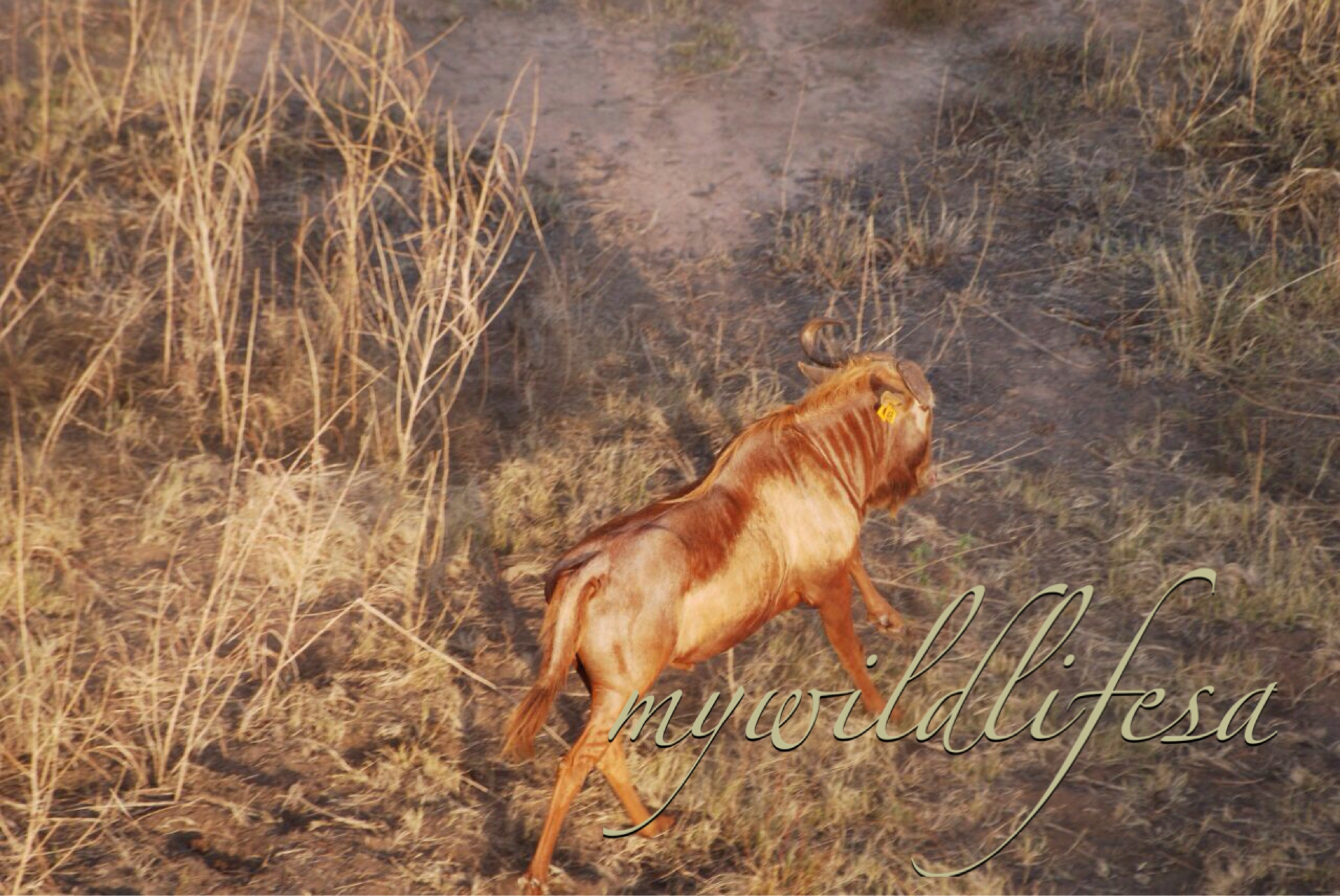 Golden King Wildebeest Heifers for sale in Limpopo, Thabazimbi