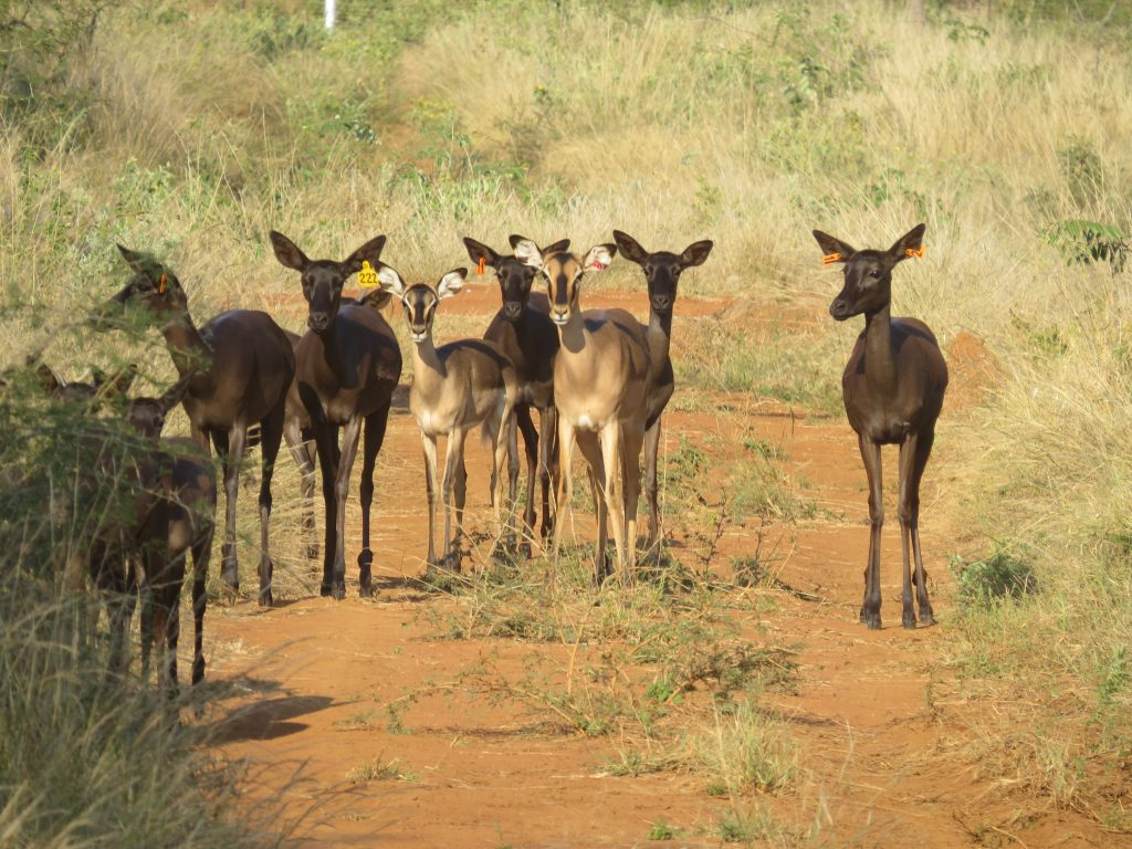 Black Impala Ewes for sale in Limpopo, Thabazimbi