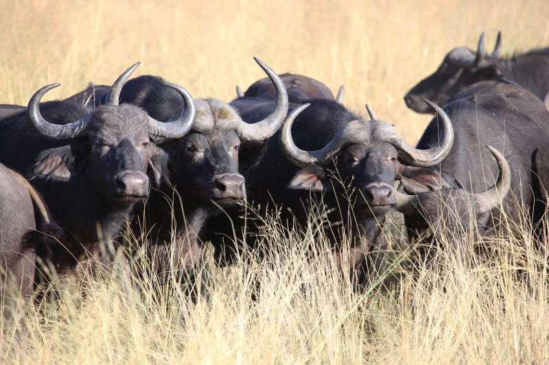 Buffalo for sale