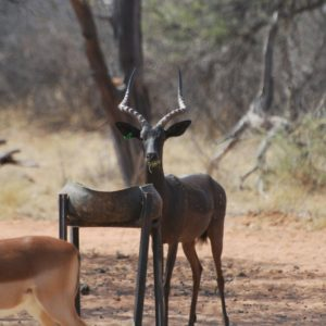 Black Impala Hunting Rams for sale in Limpopo, Sentrum
