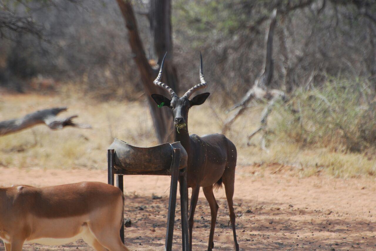 Black Impala Hunting Rams for sale in Limpopo, Sentrum
