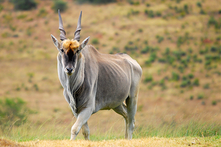 Eland Trophy Bulls for sale
