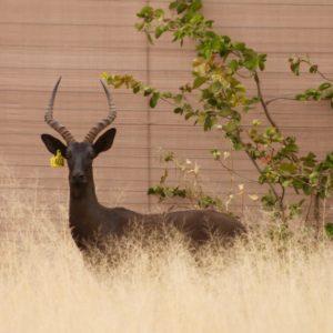 Black Impala Rams for sale in Limpopo, Hoedspruit