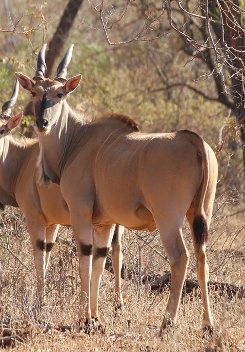 King Cape Eland Bull for sale in Limpopo, Hoedspruit