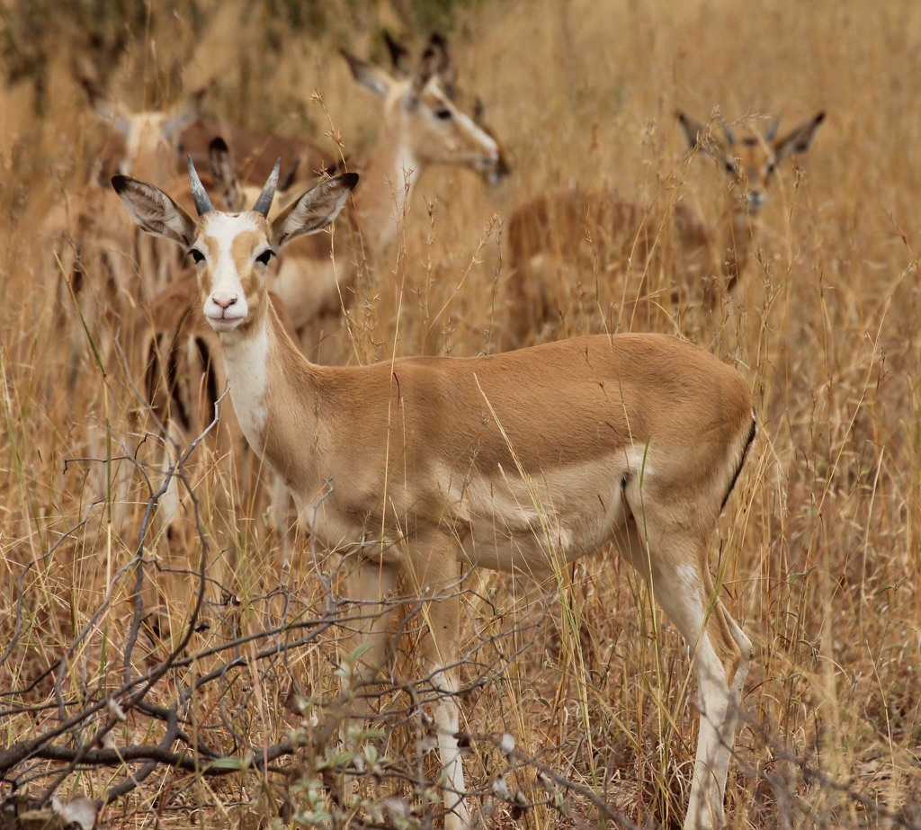 White Flank Impala Rams for sale in Limpopo, Hoedspruit