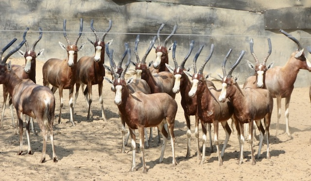 Blesbok Hunting Rams for sale in Vaalwater Limpopo