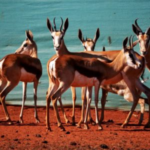 Hartwater Springbuck for sale in Thabazimbi