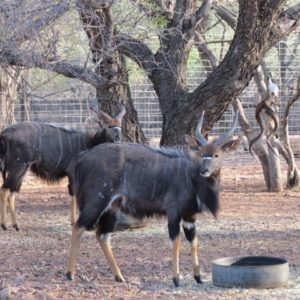 Nyala Bulls for sale Ellisras Limpopo