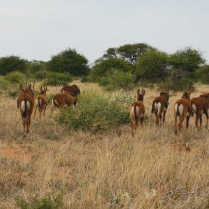 X Sable herd