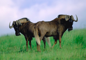 Black Wildebeest for sale