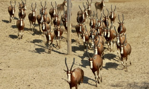 We are busy capturing Blesbok !