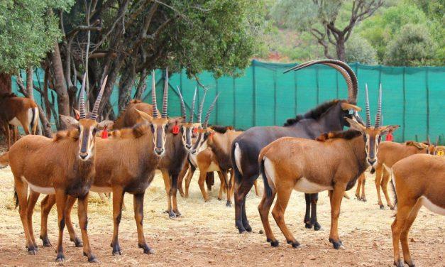 Beautiful Sable Heifers for sale !