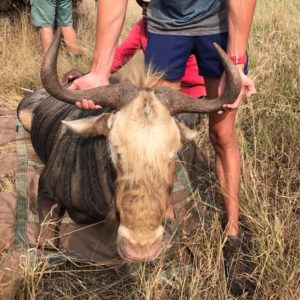Kings Wildebeest for sale