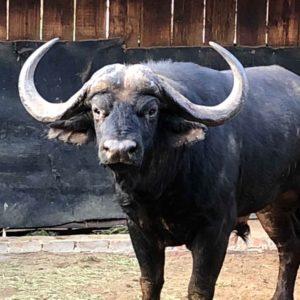 Buffalo Bull for sale