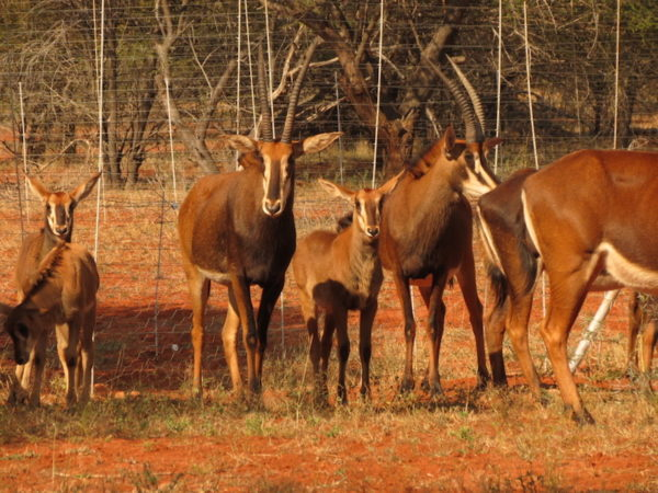 Sable cows with calves for sale