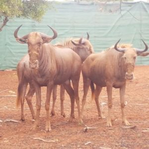 Golden Wildebeest Bull