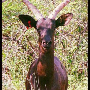 Black Impala Ram, Sentrum, Limpopo.