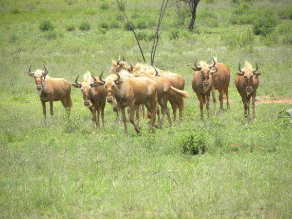 Golden Wildebeest Heifers, 15 Months old, Vaalwater, Limpopo.