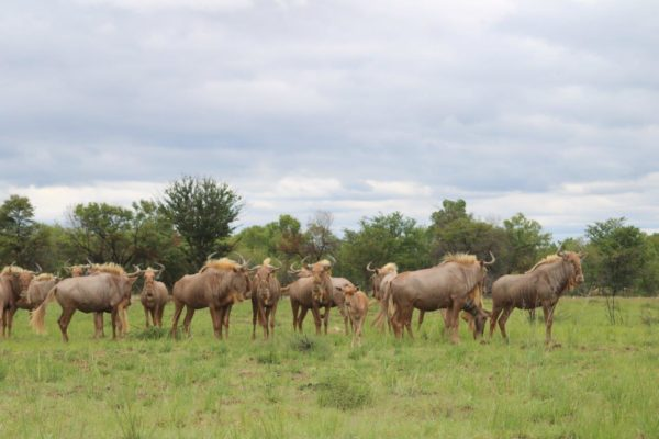 Golden Wildebeest Cows, Mature, Vaalwater, Limpopo.