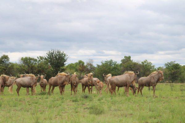 Golden wildebeest heifers, 26 months old, Vaalwater, Limpopo.