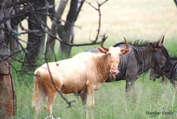 Royal Wildebeest, 1 Year old, Thabazimbi, Limpopo.