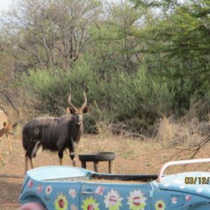 "28,5"" Nyala Breeding Bull for sale"