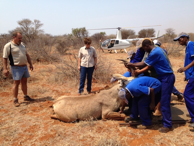 Roan Bull delivered to Musina