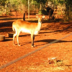 Letchwe Ewe for sale in Limpopo, Thabazimbi