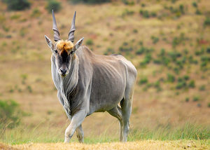 Cape Eland