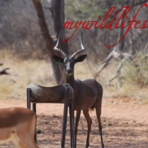 Black Impala Hunting Package for sale in Limpopo