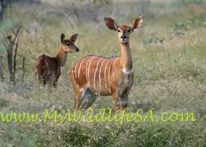 Nyala Ewes for sale in Limpopo