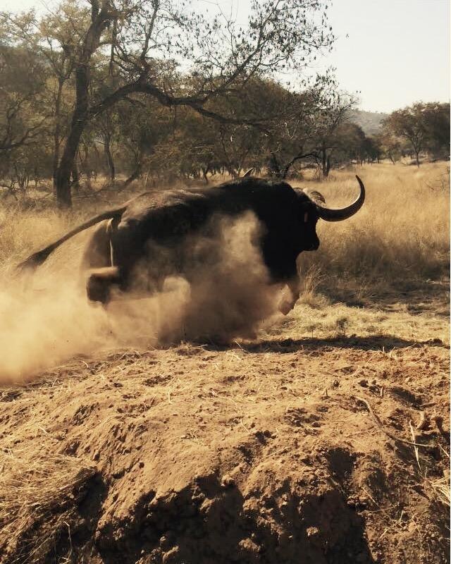 48 1/8″ Buffalo Bull Delivered
