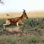 Photo of the week – Hartebeest