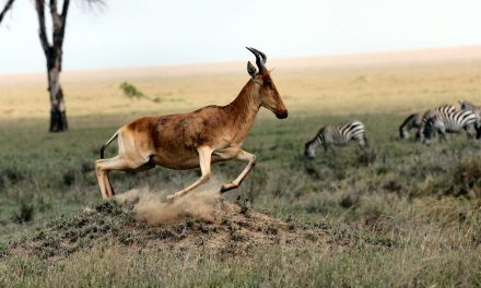 Photo of the week – Hartebeest
