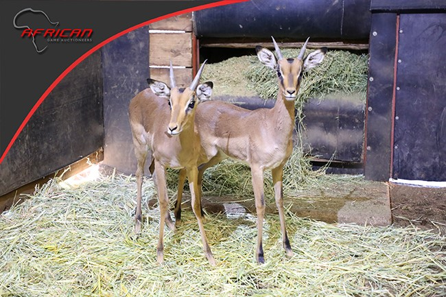 Split Impala Rams on auction for the SPCA Lephalale this weekend!