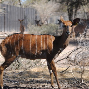 Nyala ewes for sale Ellisras Lephalale