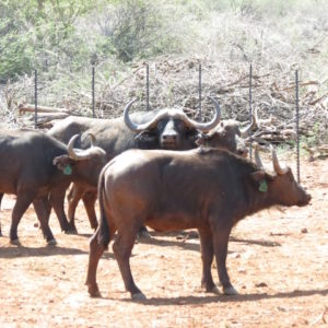3-in-1 Buffalo Cows for sale in Limpopo, Makoppa