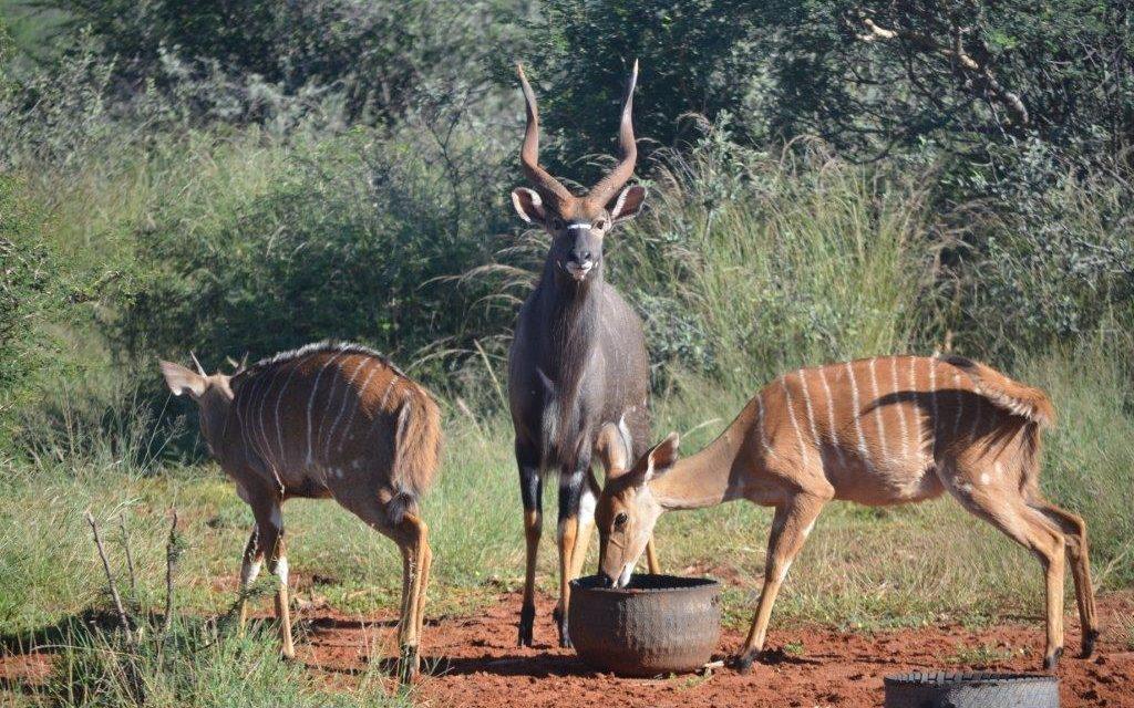 Bushveld Nyala for SALE !