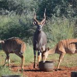 Bushveld Nyala for SALE !
