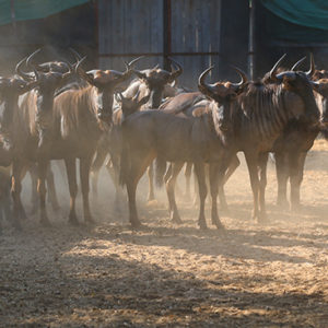 Bluewildebeest for sale in Vaalwater