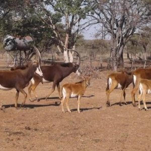 Sable cows for sale in Vivo Limpopo