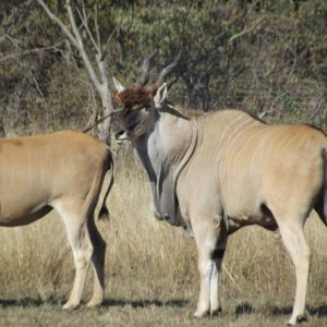 King Cape Eland for sale