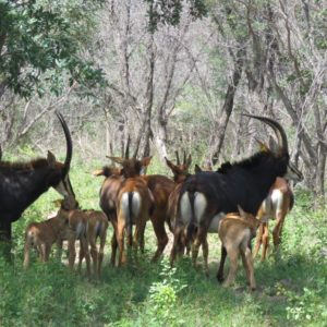 3-in-1 Sable Cows for sale in Vaalwater