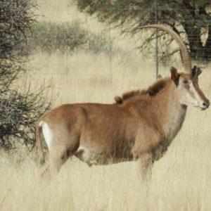 Golden Sable Bull for sale