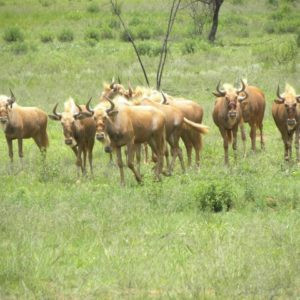 Golden Wildebeest Heifers, 15 Months old, Vaalwater, Limpopo.