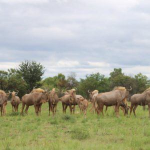 Golden wildebeest heifers, 26 months old, Vaalwater, Limpopo.