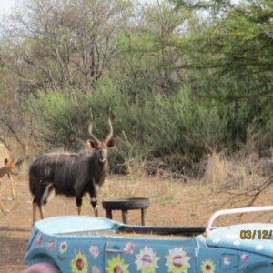 """28,5"""" Nyala Breeding Bull for sale"""